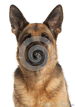Close Up Of German Shepherd Dog 4 Years Old Stock