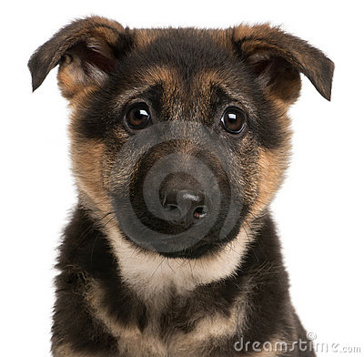 Close-up of German Shepherd puppy, 3 months old