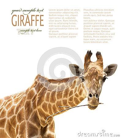 Close up of giraffe