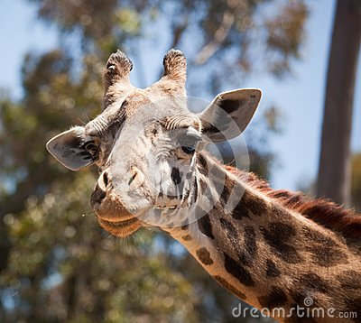 Close-up of Giraffe Head
