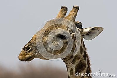 Close-up of Giraffe head