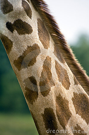 Close up of giraffe neck and camouflage