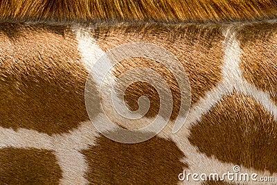 Close Up Of Giraffe Pattern Makes Good Zoo Animal Background