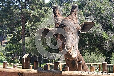 Giraffes Face