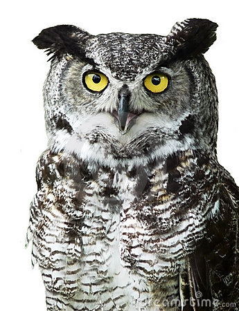Close-up of a Great Horned Owl looking at camera