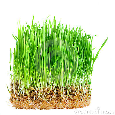 Close-up green grass with roots isolated