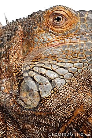 Close-up on a Green Iguana - Iguana iguana (6 year