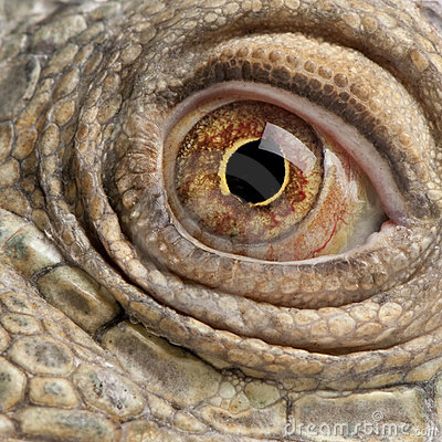 Close-up on a Green Iguana - Iguana iguana (6 year