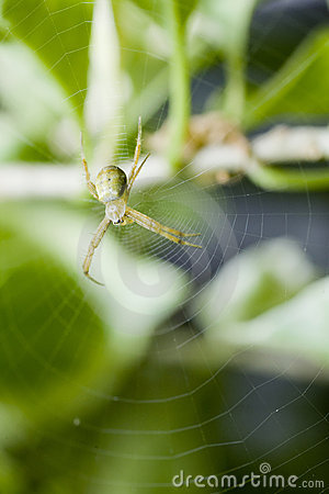 Close up of a green spider in its web