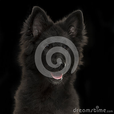 Close-up of a Greenland Dog puppy panting