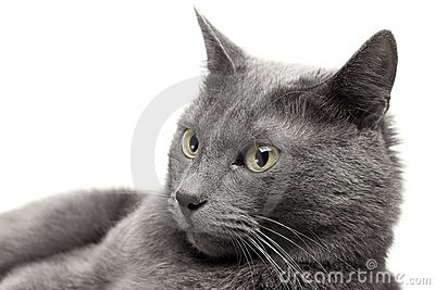 Close-up of a grey cat
