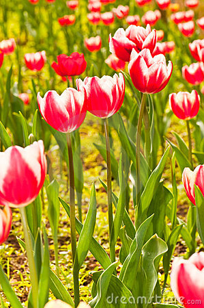 Free Close-up Group Of Red Beautiful Tulips Stock Image - 17133371