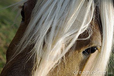Close up of Haflinger (horse)
