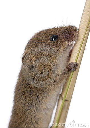 Close-up of Harvest Mouse climbing
