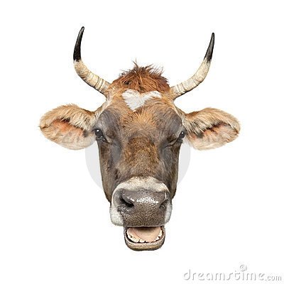 Close-up on a head of a brown Jersey cow