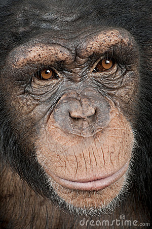 Close-up on a head of a Young Chimpanzee - Simia t