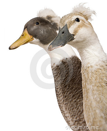 Close-up headshot of Male and Female Crested Ducks
