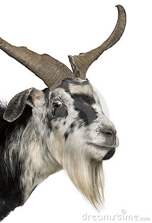 Close-up headshot of Rove goat, 5 years old