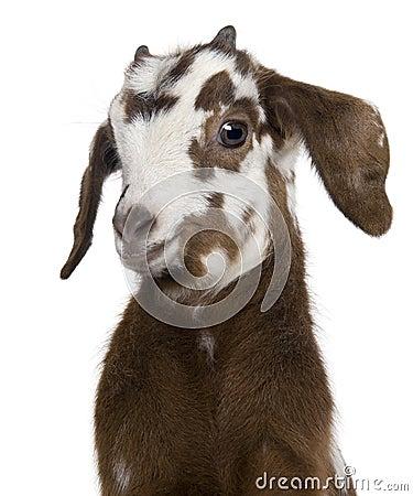 Free Close-up Headshot Rove Goat Kid, 3 Weeks Old Royalty Free Stock Image - 14539466