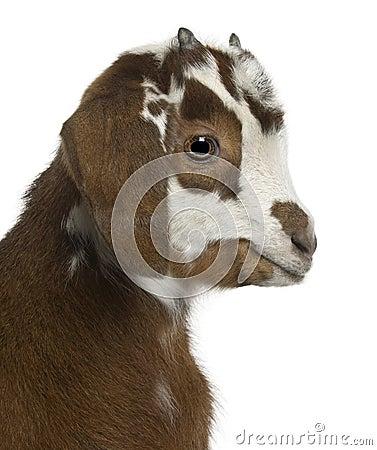 Close-up headshot Rove goat kid, 3 weeks old