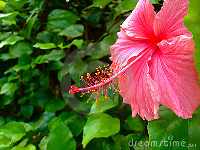 Close-up of hibiscus flower in Big Island, Hawaii