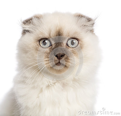 Close up of a Highland fold kitten