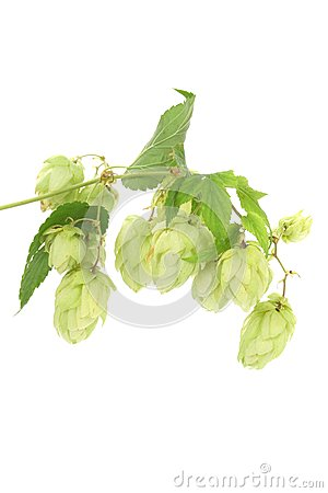 Close up of hop flowers.
