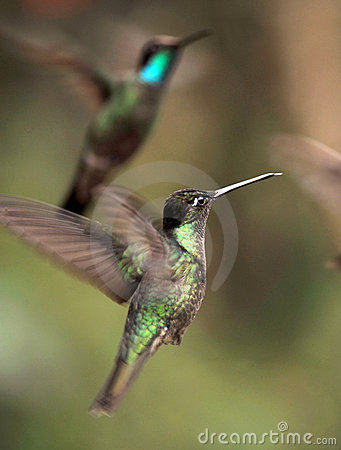 Close up of  hummingbirds flying, costa rica