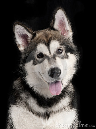 Close-up of Husky