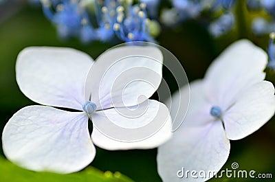 Close-up of hydrangea.
