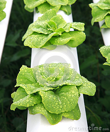 Close  up hydroponics vegetable with water dew