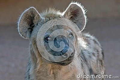 Close-up of hyena