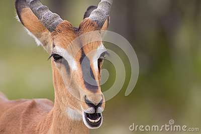 Close up of an Impala Stock Photo
