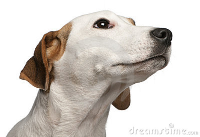 Close-up of Jack Russell Terrier, 16 months old