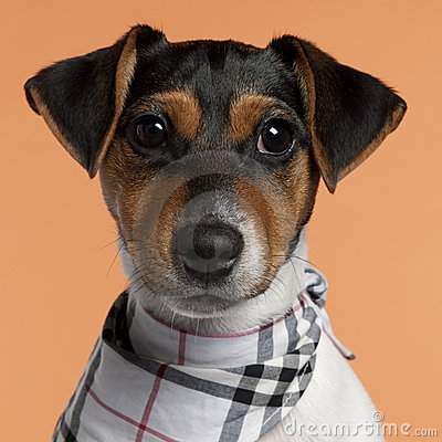 Close-up of Jack Russell Terrier puppy