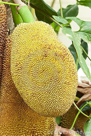 Close up of jackfruit
