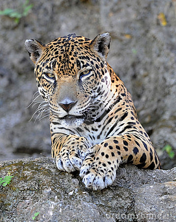 Close up of jaguar or pantera onca , guatemala