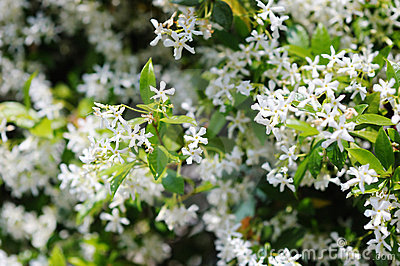 Close up of jasmine bush