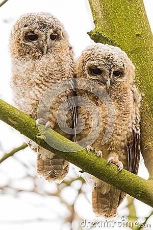 close-up 2 joung Tawny Owls
