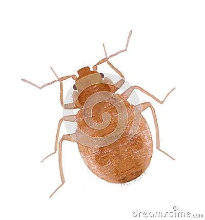 Close-up Juvenile Bedbugs