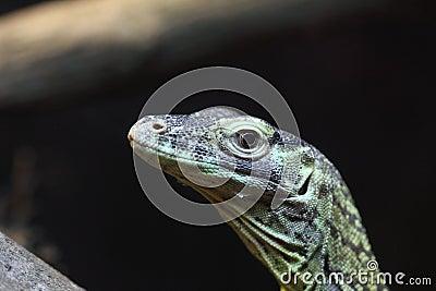 Close up of a juvenile Komodo Dragon