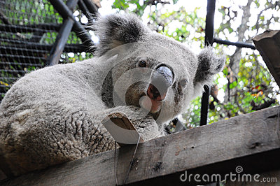Close up of koala bear in zoo