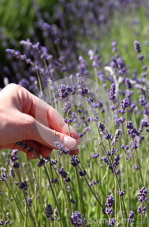 Close up of lavender flowers