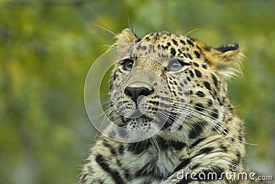 Close-up of a leopard 1