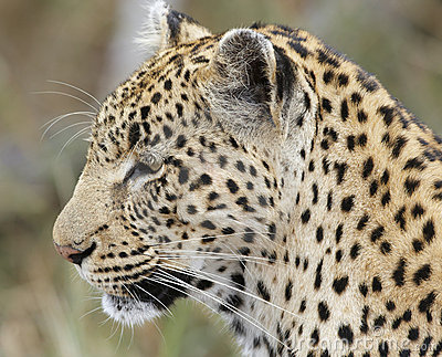 Close-up of Leopard; Panthera pardus; South Africa