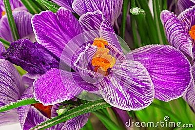 Lilac spring crocus