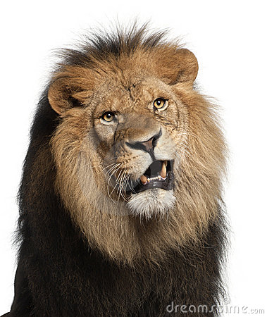 Close-up of lion, Panthera leo, 8 years old