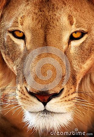 Close up lion portrait