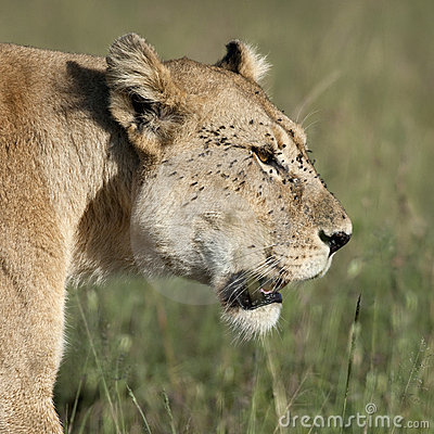 Close-up of Lioness at the Serengeti