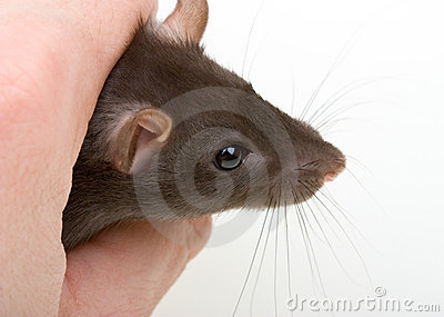 Close-up little mouse catch in human hand